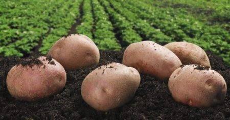 Сорт картофеля весна: описание, посадка и уход