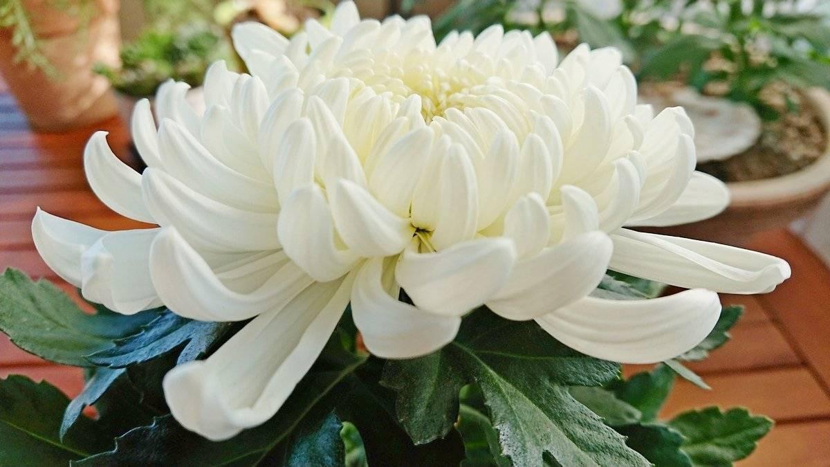 Чем и когда подкормить хризантему для роста и цветения