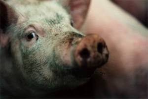 Свинья села на задние ноги что делать. у свиньи отказали задние ноги: что это значит