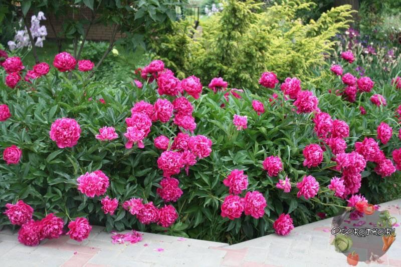 Подкормка пионов весной и летом: чем лучше удобрить для пышного цветения