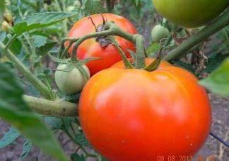 """Томат """"джина"""": характеристика и описание сорта, уникальные фото помидоров, выращивание, урожайность и борьба с вредителями"""