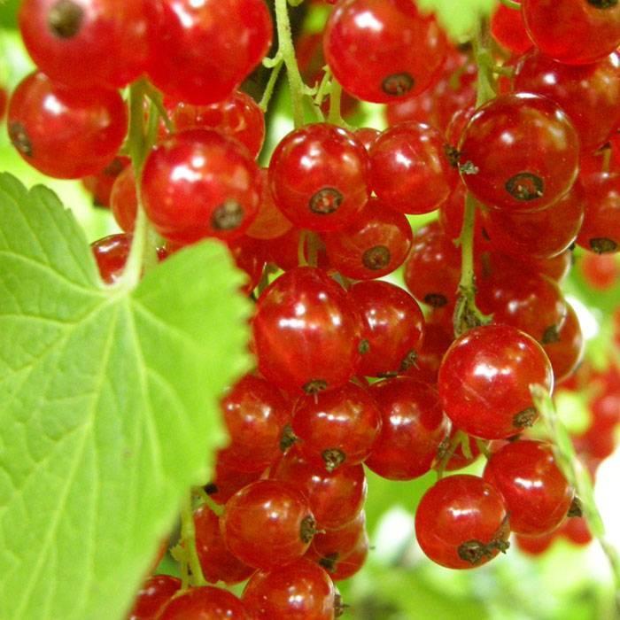 Смородина красная йонкер ван тетс: описание сорта, уход и выращивание