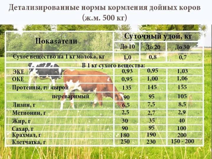 Молоко после отёла коровы: когда можно пить и сепарировать