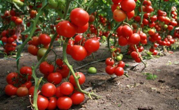 Томаты черри — особенности выращивания разных сортов