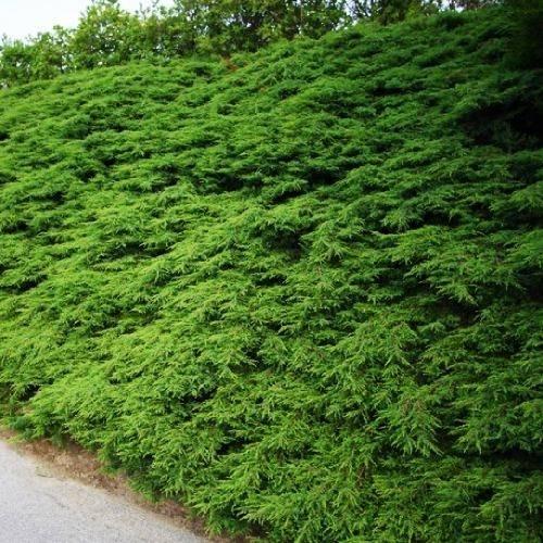 Можжевельник репанда — почвопокровный зеленый хвойник