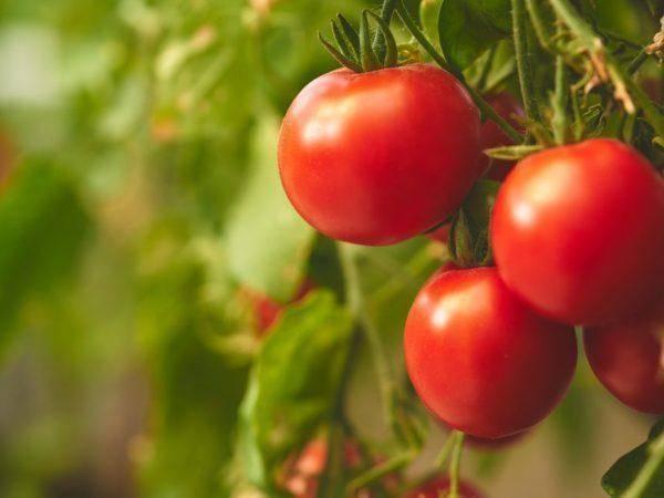 Неприхотливый проверенный временем сорт томатов сибирский скороспелый