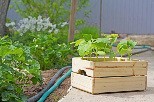Выращивание томатов в открытом грунте: посадка, уход и уборка урожая