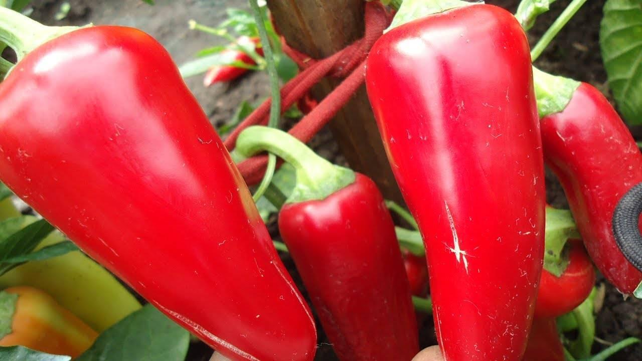 Перец «ласточка»: описание сорта, особенности выращивания рассады, пересадка всходов в грунт, техника подкормки, способы увеличения урожайности, отзывы