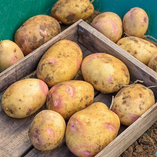 Все о сорте картофеля пикассо: описание и фото, характеристика, особенности выращивания и другие нюансы