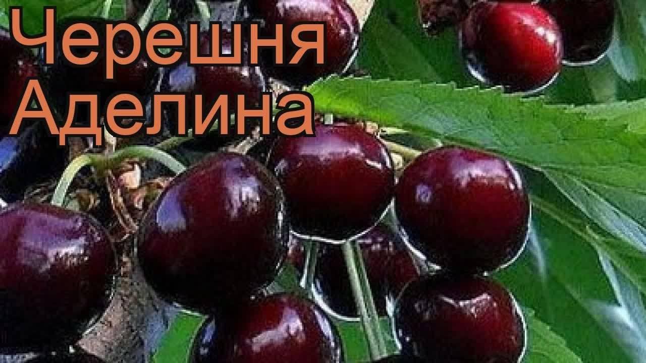 Черешня аэлита — описание сорта, фото, отзывы садоводов