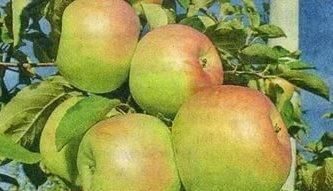 Яблоня синап орловский: описание сорта, фото, отзывы садоводов