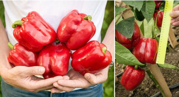 Перец сорта красная лопата — вкусный, красивый и урожайный