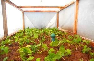 Как размножать красную смородину черенкованием