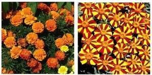 Бархатцы выращивание из семян: когда сажать в открытый грунт и как размножить, проращивание на рассаду в домашних условиях