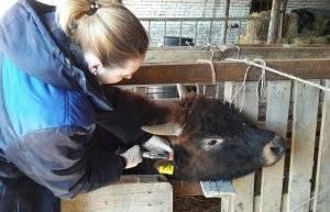Бешенство у крупного рогатого скота: симптомы и лечение