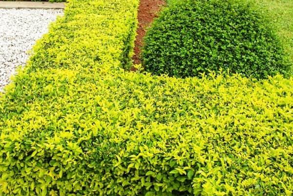 Кустарник бирючина: посадка, уход, размножение бирючины