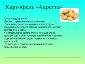 Картофель крона