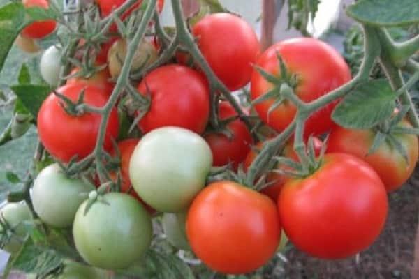 Какие низкорослые помидоры самые урожайные