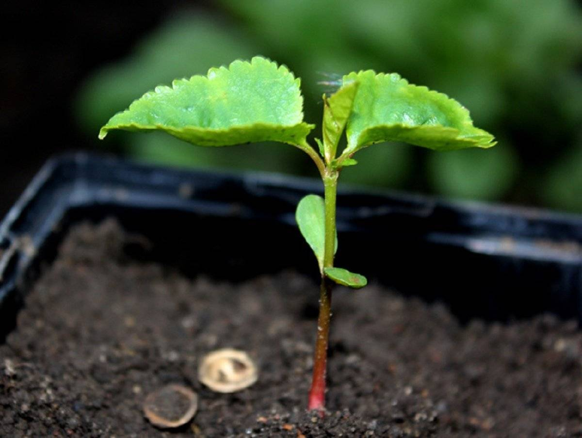 Сад из косточек: 8 фруктовых деревьев, которые можно вырастить из семян без саженцев