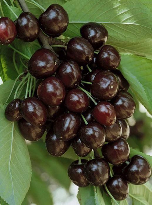 Позднеспелый сорт черешни – крупноплодная регина — разбираем все нюансы