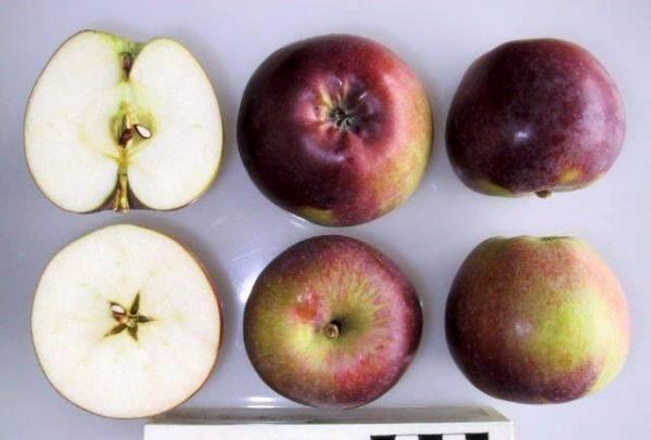 Осенняя яблоня спартак: описание, фото