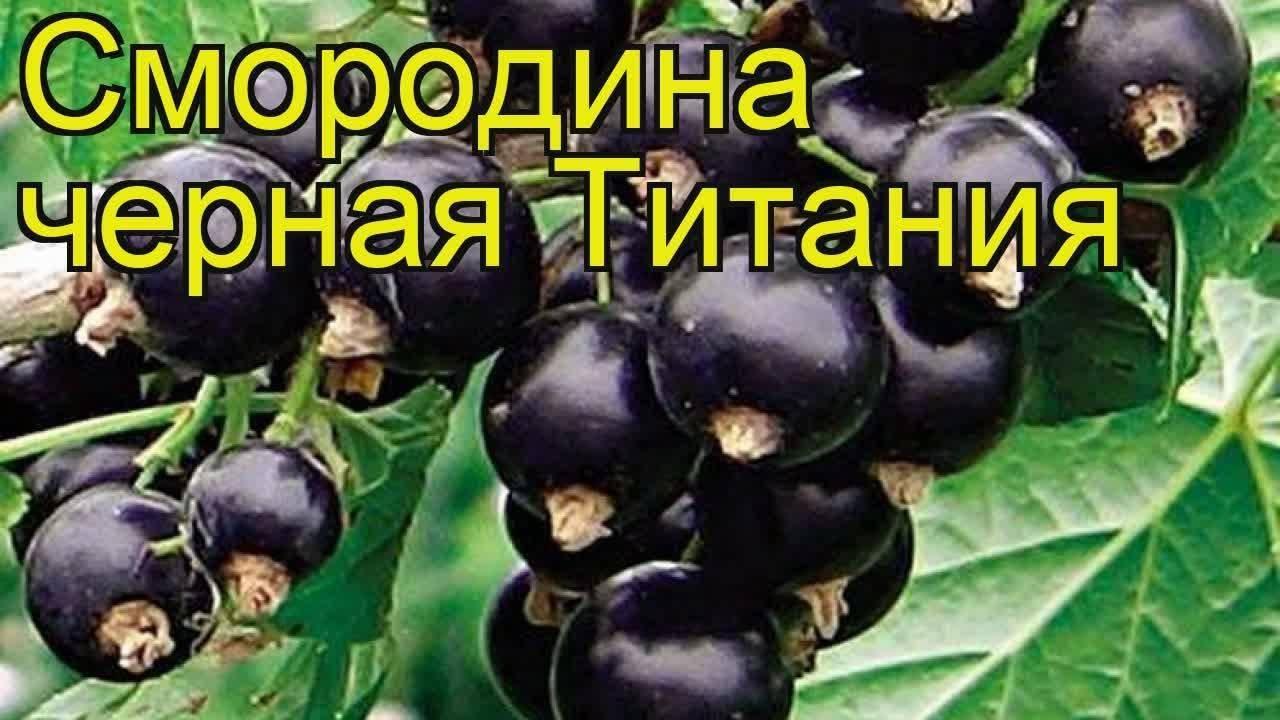 Смородина титания – чёрное золото на садовом участке