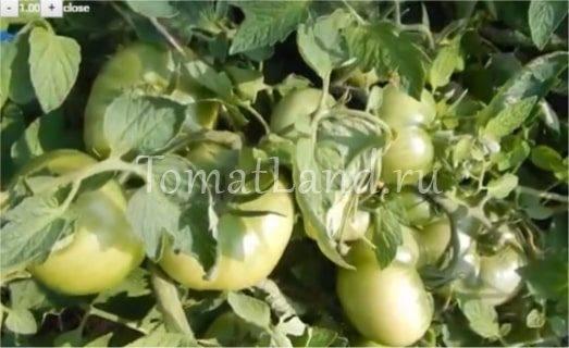 "Томат ""лабрадор"": описание сорта, характеристики и фото плодов-помидоров"
