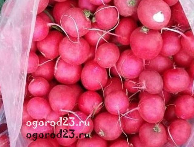 Лучшие сорта (семена) редиса для теплицы: отзывы, фото с названием и описанием, для посадки весной, летом, осенью