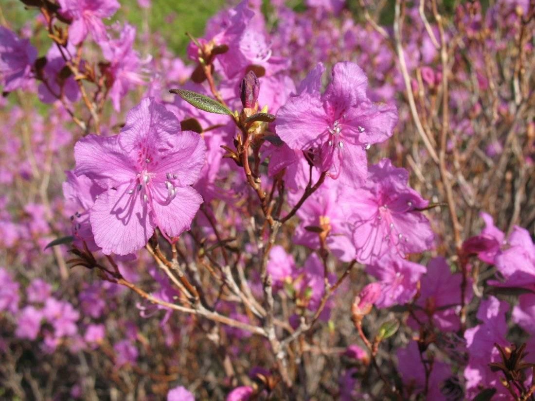 Рододендрон – посадка и уход, правила обрезки. выращивание в различных климатических условиях. требования к почве