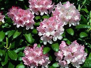 Почему рододендрон не цветет и не растет: 7 основных причин