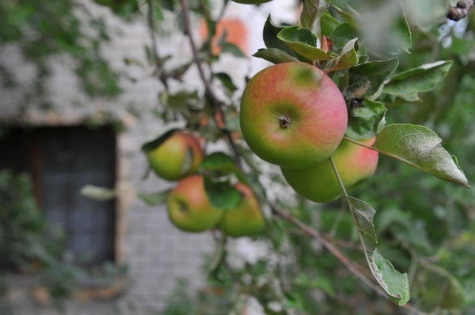 Когда лучше сажать яблони в ленинградской области осенью