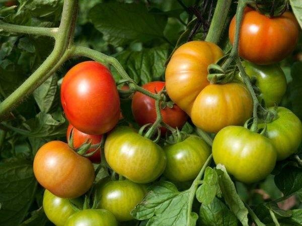 Сорт томата загадка природы