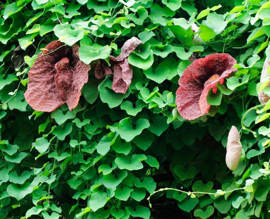 Кирказон ломоносовидный, маньчжурский, обыкновенный: лечебные свойства и применение, где растет