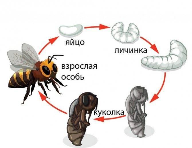 Интересные факты о пчёлах, организация пчелиного улья, разведение пчел