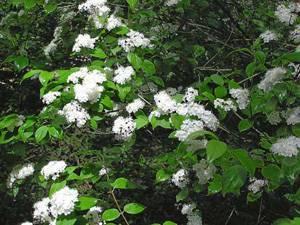 Правила и секреты выращивания дейции в открытом грунте