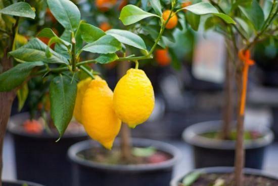 Лимон - это овощ или фрукт - открытый вопрос по настоящий день