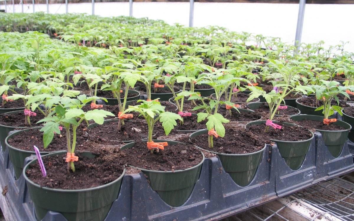Не растет рассада помидор: что делать
