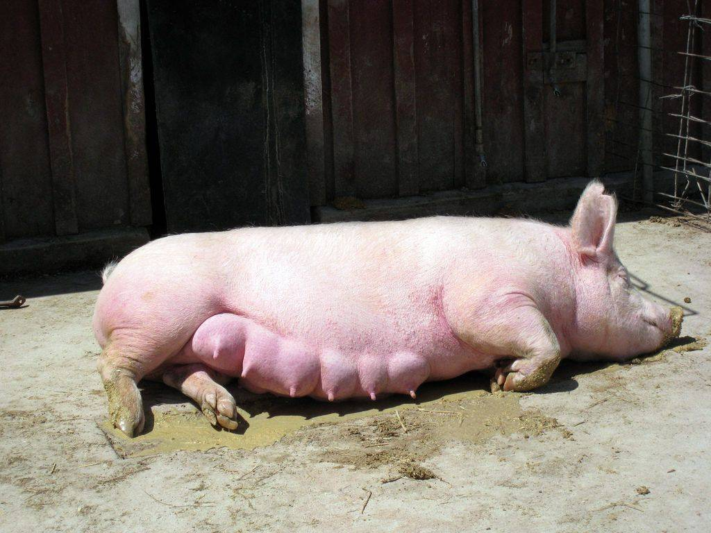 Беременность свиньи (39 фото): сколько месяцев длится беременность свиней разных пород? как понять, что свинья беременная? подготовка к опоросу в домашних условиях
