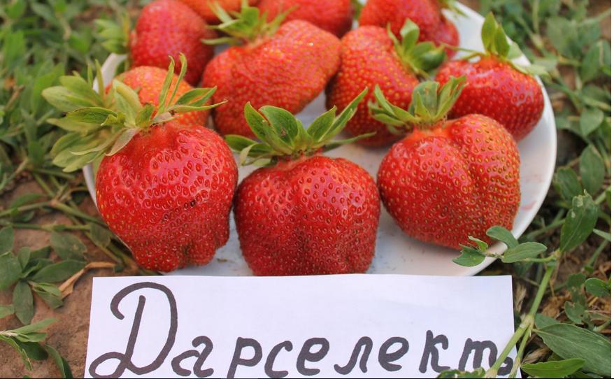 Клубника дарселект: описание сорта, отзывы садоводов, фото