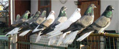 Какие характеристики имеют серпастые голуби?