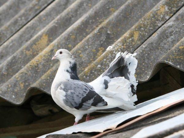 Ижевские голуби