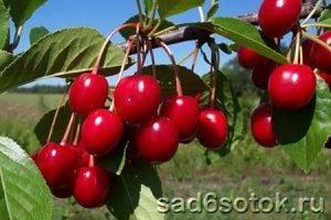 Дерево войлочная вишня с фото и описанием сортов: выращивание и уход за кустарником