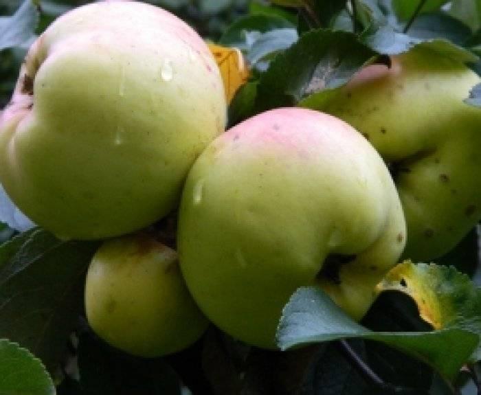 Яблоня богатырь: описание сорта, фото, отзывы садоводов