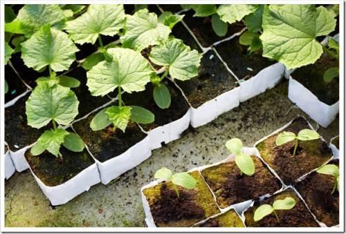 Подготовка огуречных семян к посеву от а до я