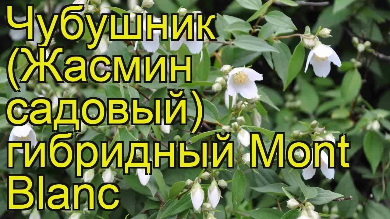 Чубушник 'mont blanc'