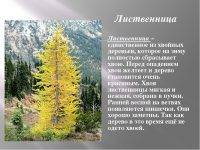 Лиственница сибирская: особенности и фото