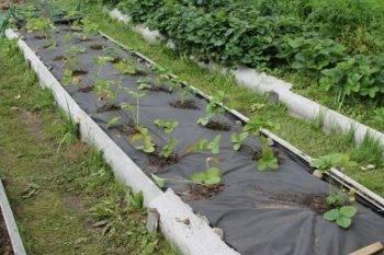 Как посадить клубнику под укрывной материал