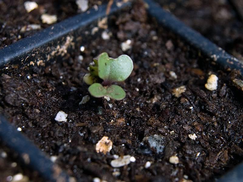 Когда сеять капусту брокколи на рассаду