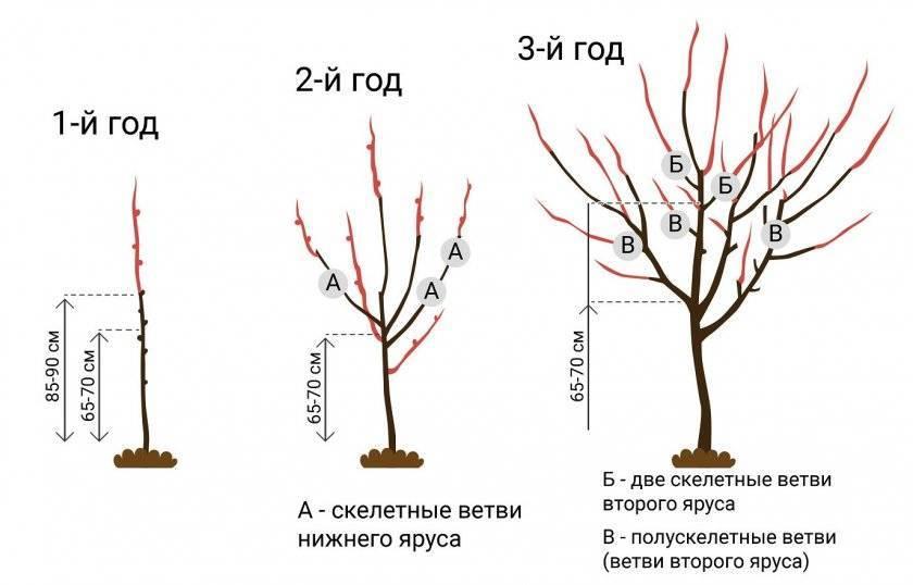 Обрезка абрикоса осенью для начинающих