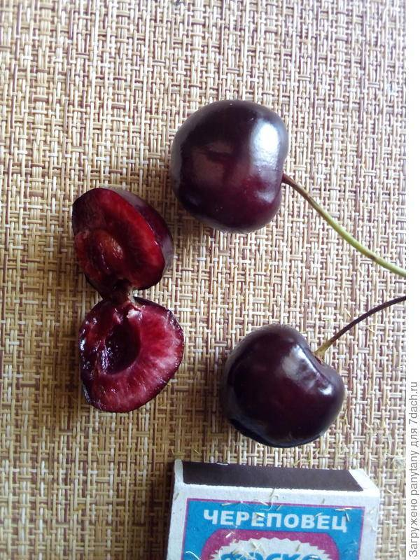Выращивание черешни аделина